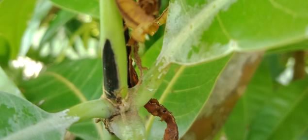 Banana spotting bug shoot damage