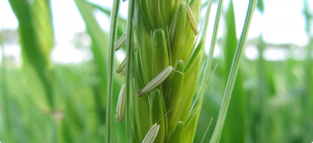 A picture of a barley grain head in flower