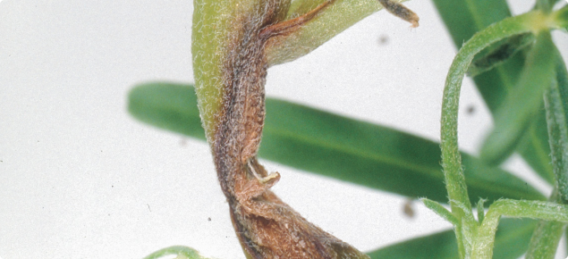 Plant shoot showing rotting stem caused by Anthracnose.