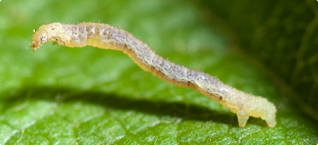 Apple looper larva