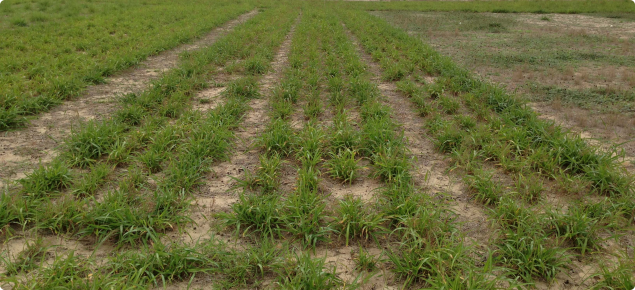 Green Gatton panic grass in trial plot