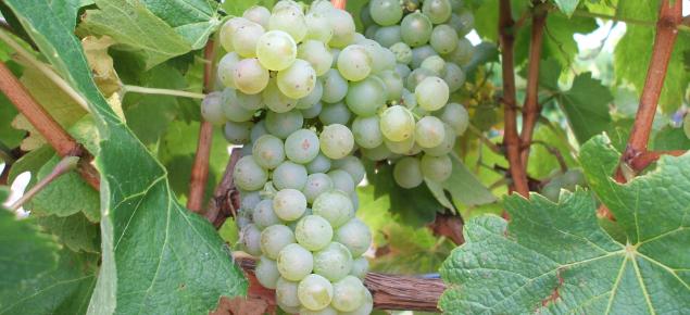 Arneis wine grape
