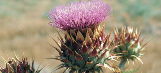 Artichoke thistle flower