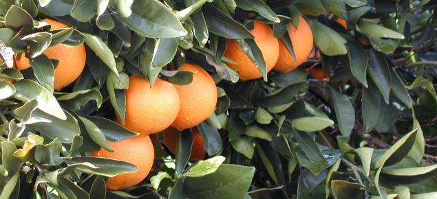 Oranges hanging on tree