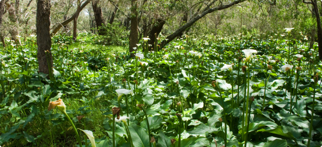 Arum lily infestation in Tuart forest