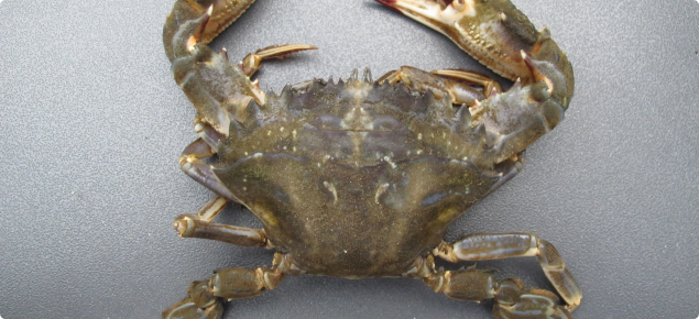 Close up of grey asian paddle crab from above