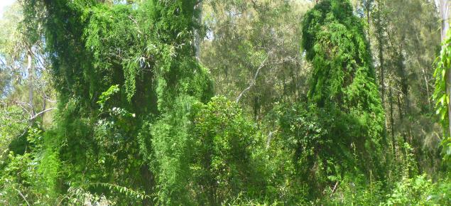 Asparagus africanus invasion