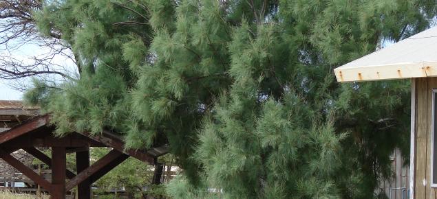 Athel pine tree