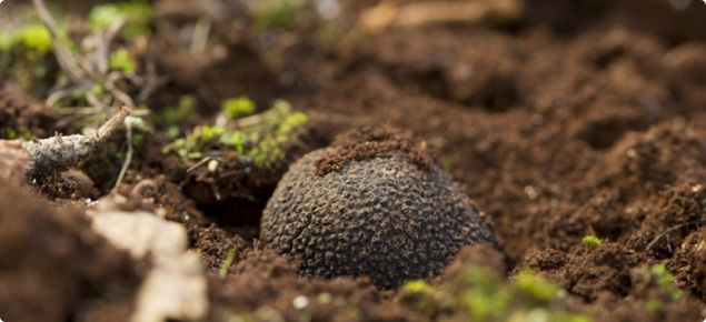 Truffle in the ground
