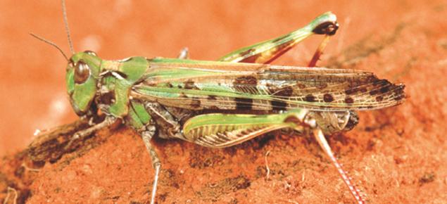Australian plague locust.