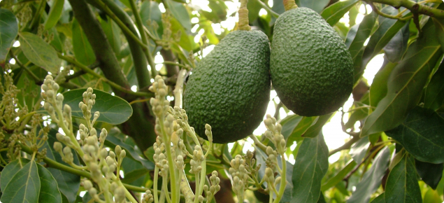Growing avocados: flowering, pollination and fruit set