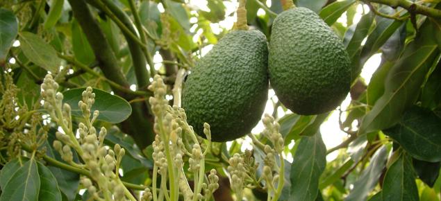 Cultivo de aguacates floración polinización y fructificación 5