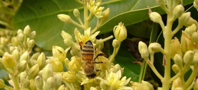 Cultivo de aguacates floración polinización y fructificación 2