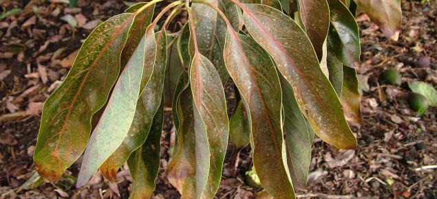 Burnt avocado leaves showing a mottled brown damage