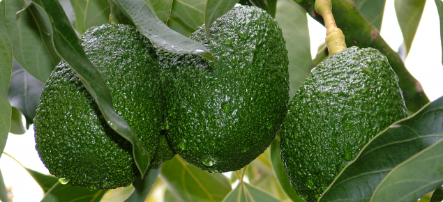 Three Hass avocado fruit hanging in tree