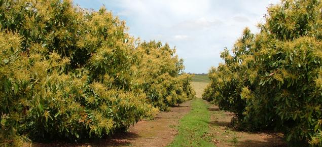 Cultivo de aguacates floración polinización y fructificación 3