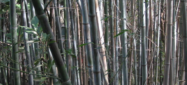 Growing bamboos | Agriculture and Food