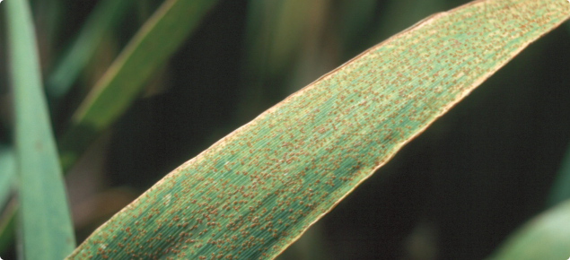 Barley leaf rust appears as orange-brown rust pustules scattered over the leaf surface