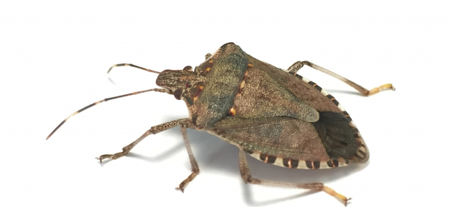 Adult brown marmorated stink bug