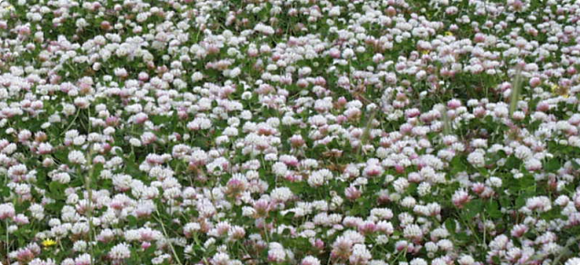 Sward of flowering balansa clover