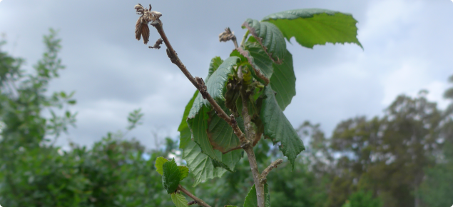 The cause of dying buds and stems of hazelnut trees requires clarification