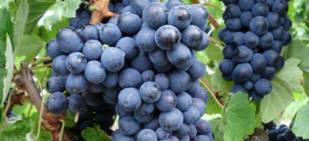 Barbera wine grapes
