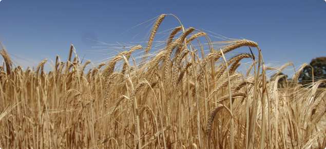 Crop of barley