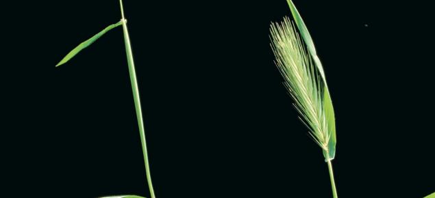 Barley grass heads