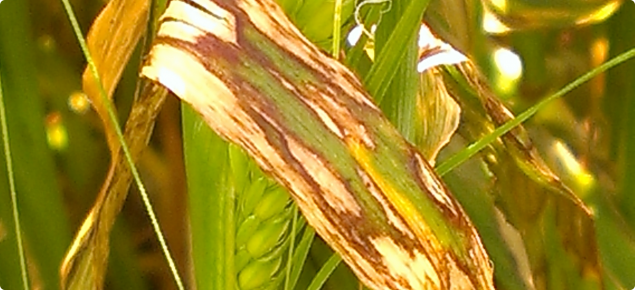Scald, a disease on barley