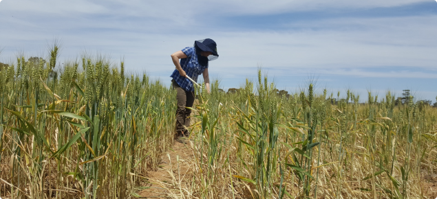 Crop protection agronomist sampling wheat crop for crown rot