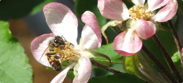 Honey bee on visiting an apple flower