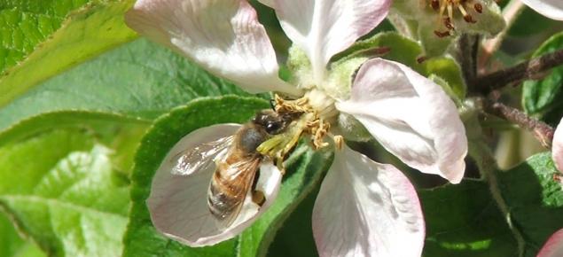Honey bee visiting an apple flower