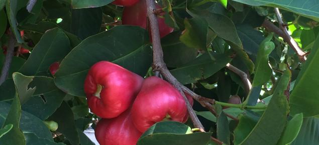 Bell apple