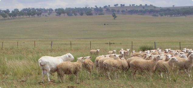 van Rooy ram with young White Dorper ewes