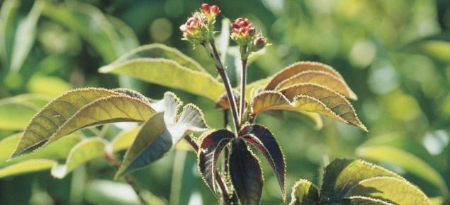 Bellyache bush infestation.