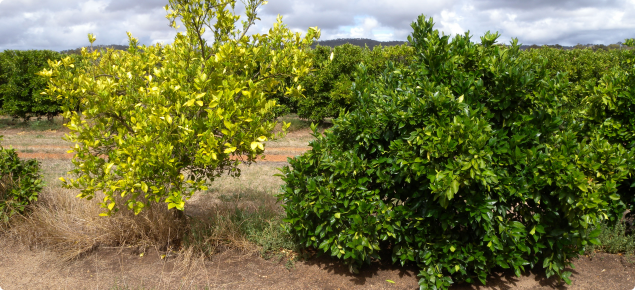 Newhall navel trees on Swingle citrumelo showing sick tree caused by rootstock incompatibility