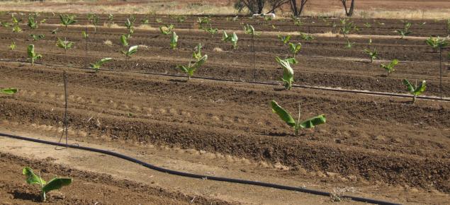 Bananas planted using bits