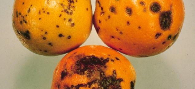 Symptoms of Citrus black spot on oranges