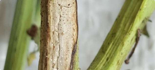 Blackleg infection on canola stem.