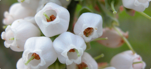 Blueberry Flowers Grow In Bunches And Are Small White