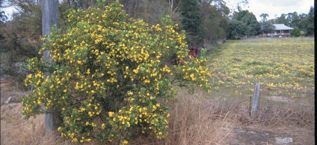 Boneseed bush with yellow flowers