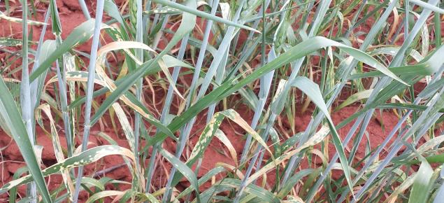 Herbicide damage on Bonnie Rock wheat