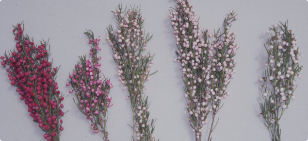 Natural variants of Boronia heterophylla range in colour from almost white through to soft pink and cerise