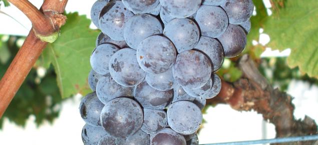 Brachetto wine grapes