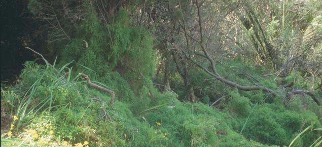 Bridal creeper invading bushland