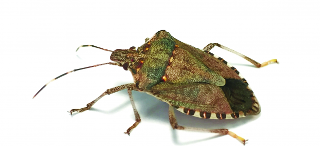 A brown marmorated stink bug.