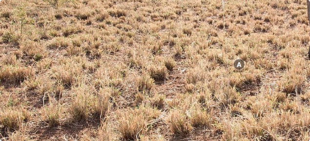 Photograph of buffel grass pasture in good condition