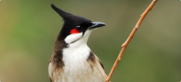 Red-whiskered bulbul (Pycnonotus jocosus) - not indigenous to Australia. Credit: Jay Yeung.