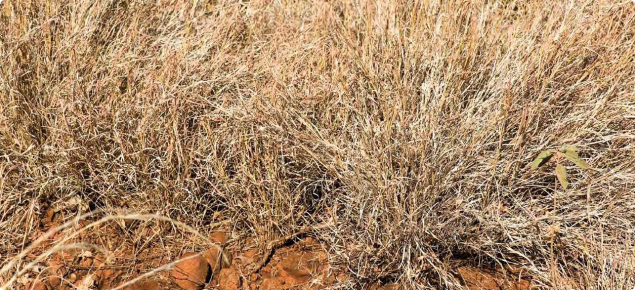Photograph of bundle-bundle pasture in the Kimberley