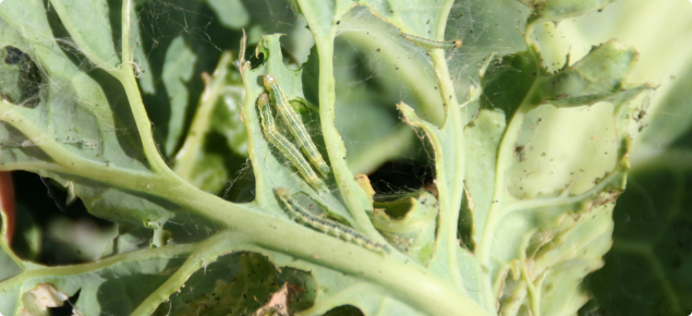 Cabbage head caterpillar larvae feed on leaves of cabbage plants and can severely retard plant growth